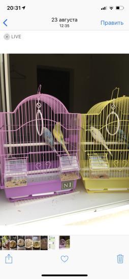 Девочки (Сахин)отдаю 3-ех попугайчиков