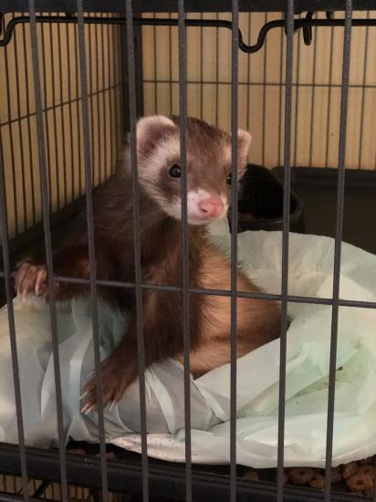 Any ferret mommy's out there ?