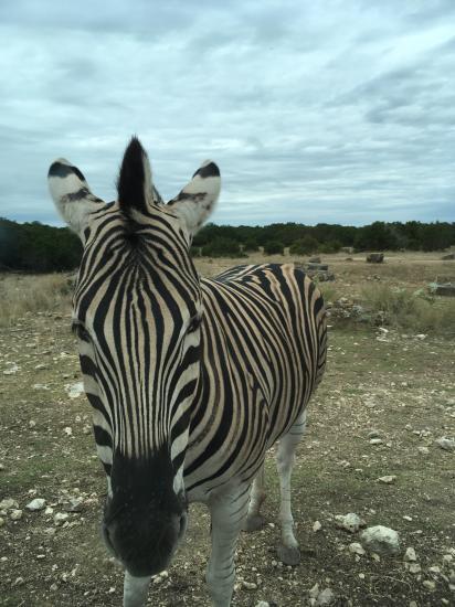 Я думала зебры безобидные, они